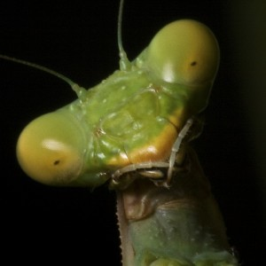best-picture-gallery-macro-photography-praying-mantis-markopoulos-pic